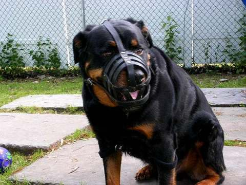 Leather-dog-muzzle-for-Rottweiler-M41-1